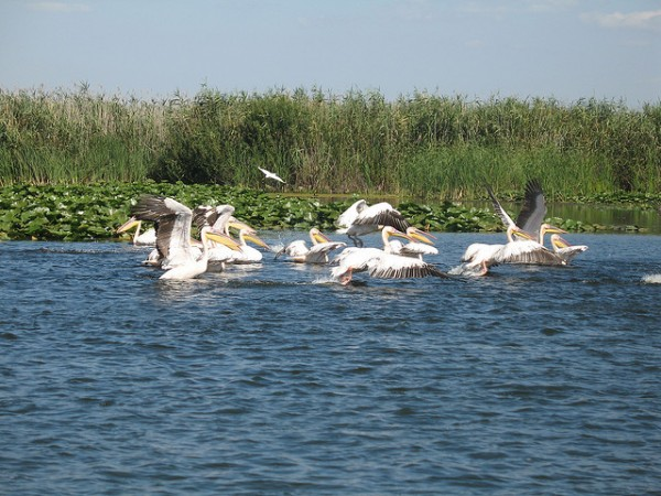 Pelicans in the Danube Delta, ©Georg Scholz/Flickr